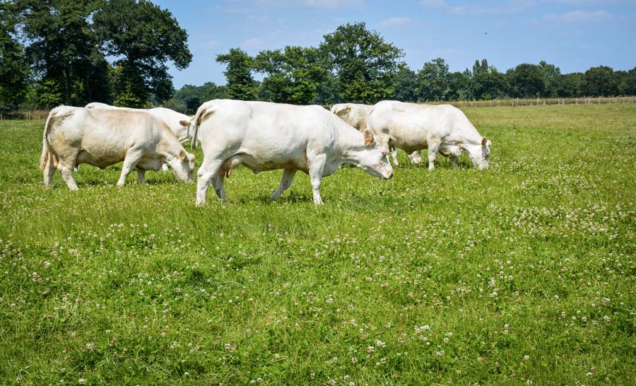 Le troupeau charolais est doté d'un Ivmat de 105,3.
