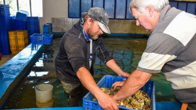 La production est commercialisée sur les marchés locaux ainsi que par expéditions lors de la période de Noël.