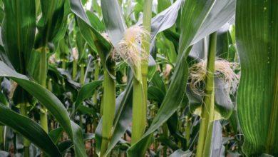 Photo of Une floraison précoce du maïs