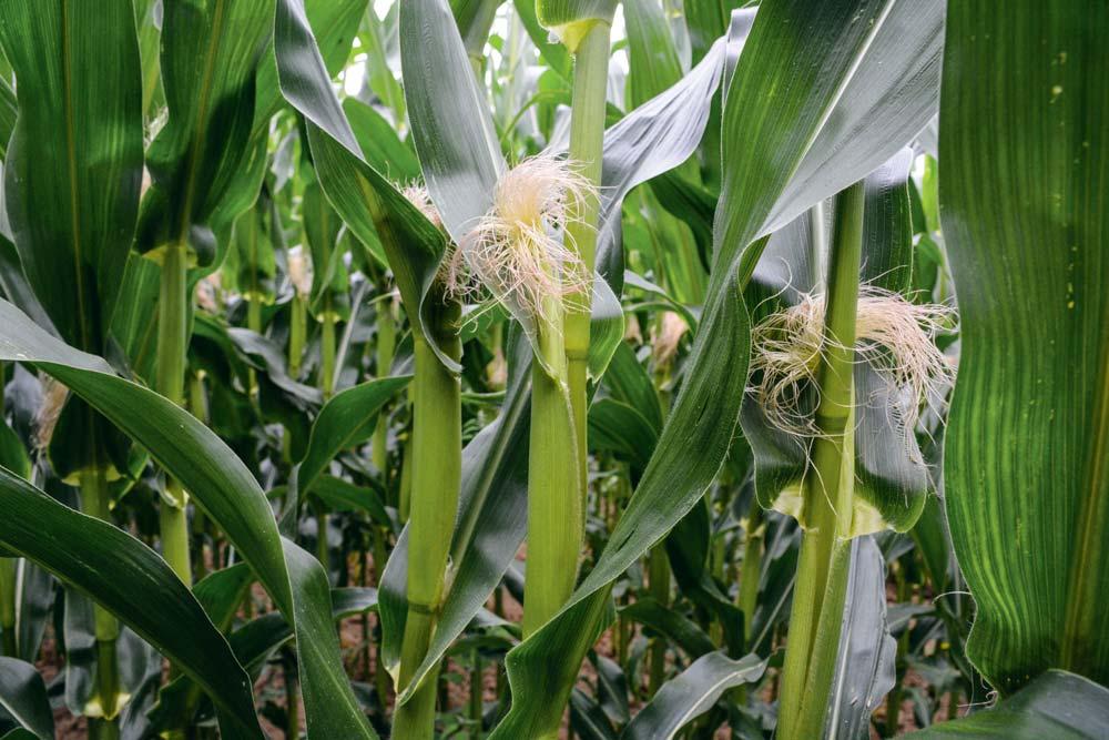 La date de floraison, dès qu'une plante sur deux porte des soies au niveau des futurs épis, donne une première estimation de la date de récolte.