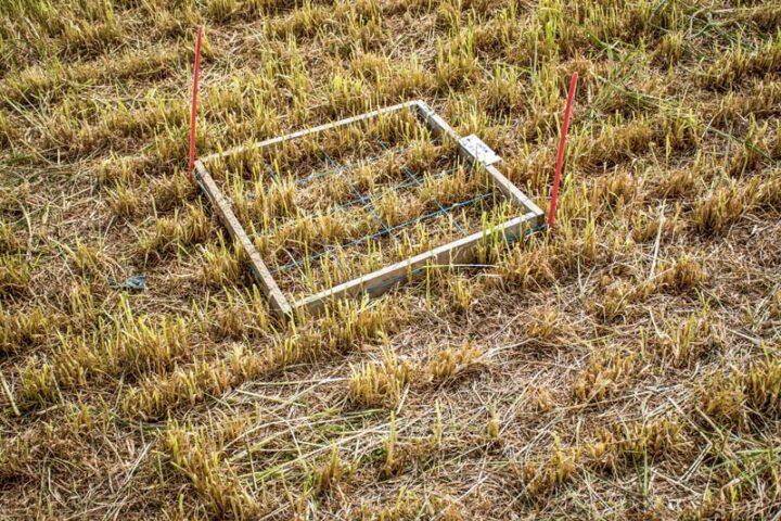 Sur les micro-parcelles comparant différentes doses au semis, des quadrats délimitent des surfaces sur lesquelles les chercheurs réalisent des comptages.