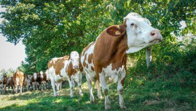 Photo of Stress thermique de la vache