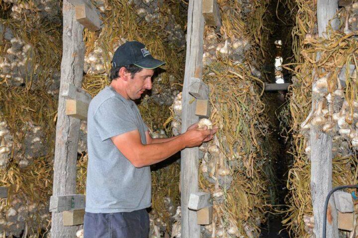 « Les bottes d'ail sèchent pendant deux à trois semaines », précise Benoît Vaévien.