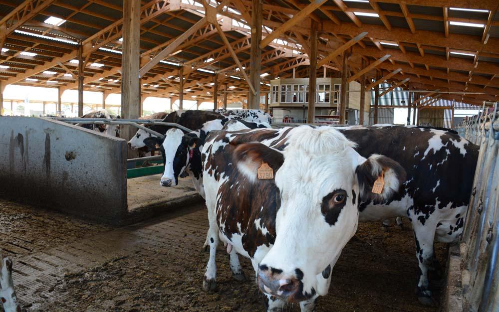 La nouvelle stabulation de 1 500 m² accueille les 75 Prim'Holstein et 75 Normandes de l'exploitation de l'EARL Célard à Ambon. L'automatisation permet de gérer seul le travail d'astreinte à une personne le week-end.
