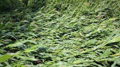 Photo of Le maïs enfin arrosé a versé
