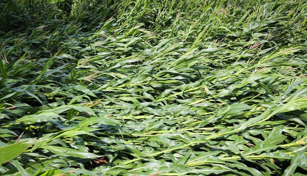Dans quelques secteurs, comme ici à Gouesnou (29), le maïs a versé.