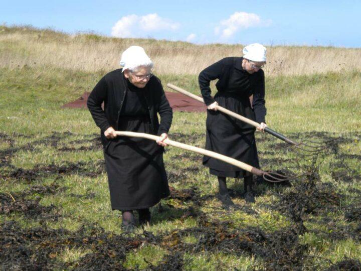 Les algues fraîchement récoltées étaient rapidement mises à sécher dans des parcelles au dessus de la grève.