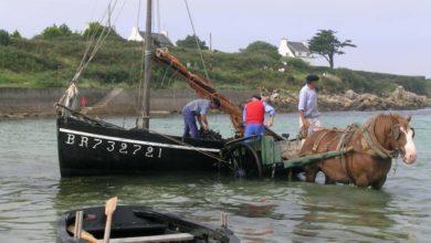 Les algues étaient déchargées des bateaux dans des charrettes tirées par des chevaux de trait breton.