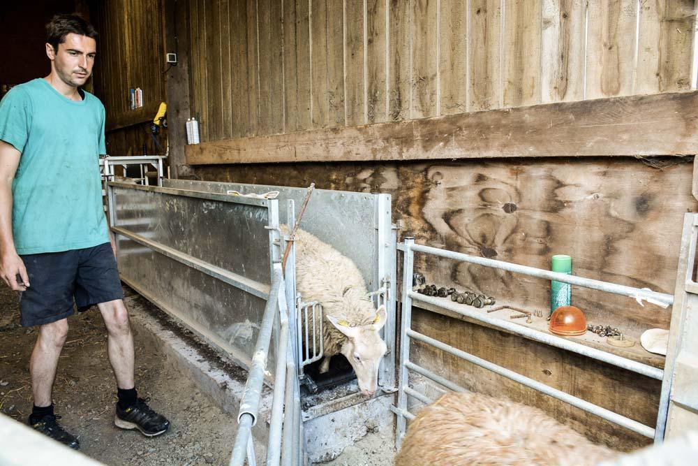 Avec un quai d'embarquement intégré au couloir de contention où les 500 brebis et leurs produits sont habitués à passer régulièrement, « le chargement des animaux est plus rapide », témoigne Thomas Courcier.