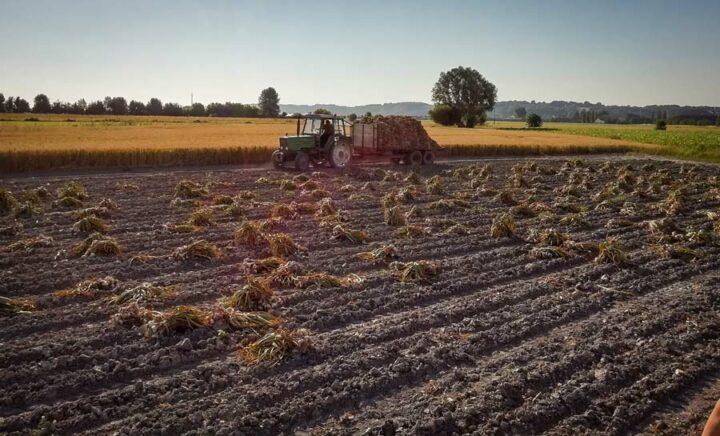 La récolte de l'ail se fait entre le 20 juin et le 10 juillet.