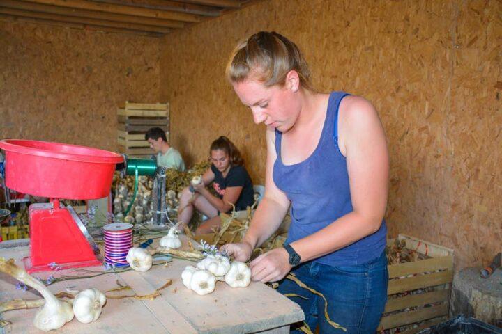 Des saisonniers viennent chaque année éplucher l'ail et confectionner les bottes et tresses.