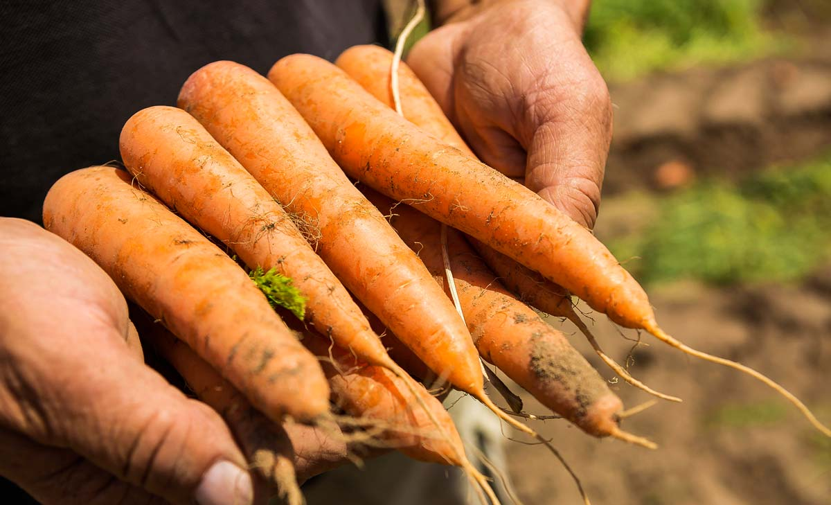 semences-potageres-carotte-legume