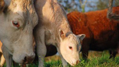 """Photo of Face aux vegans, la Conf' présente un plaidoyer """"pour l'élevage paysan"""""""