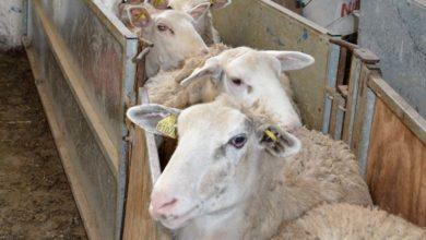 Photo of Peser les agnelles pour une meilleure fertilité