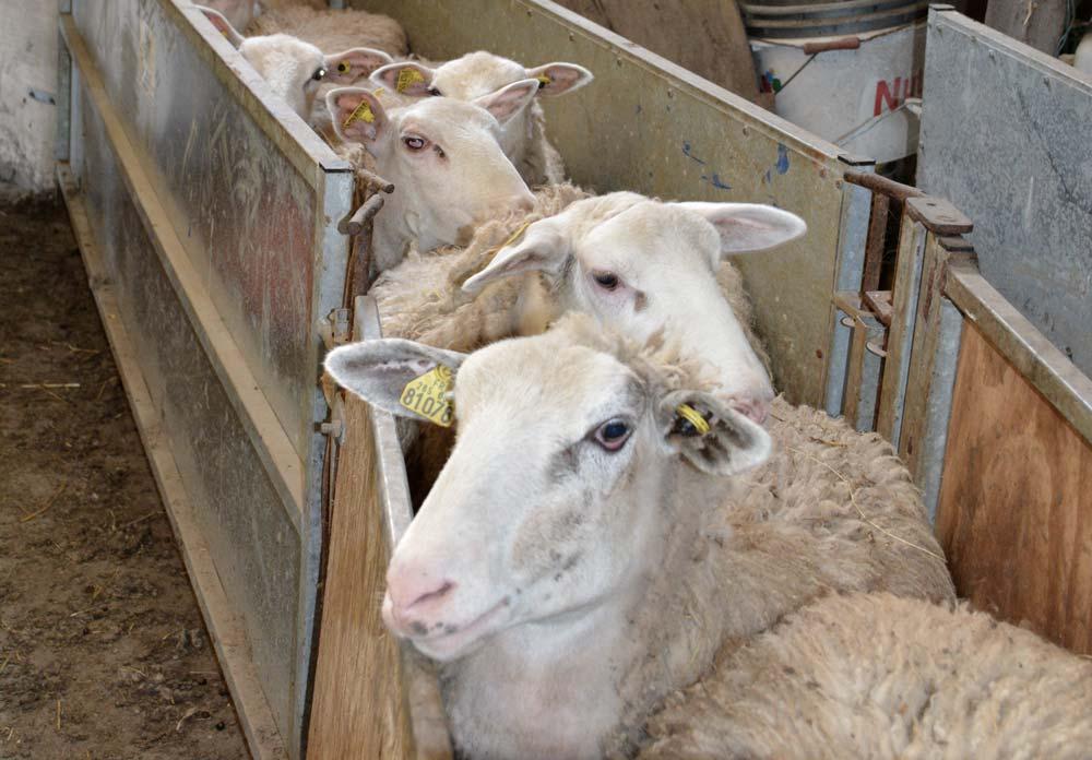 Le poids des agnelles à la première mise à la reproduction reste l'un des principaux facteurs de variation de la fertilité.