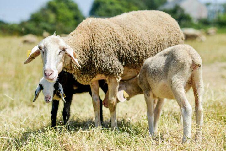 « Pour éviter un problème sanitaire en transformation laitière, il faut d'abord veiller à la bonne santé de ses animaux » affirme Jean-Charles Ray.