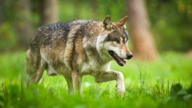 Photo of L'Allemagne assouplit les règles d'abattage des loups