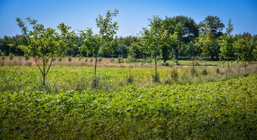 Cette parcelle associe des pommiers et du sarrasin (photo prise fin juin).