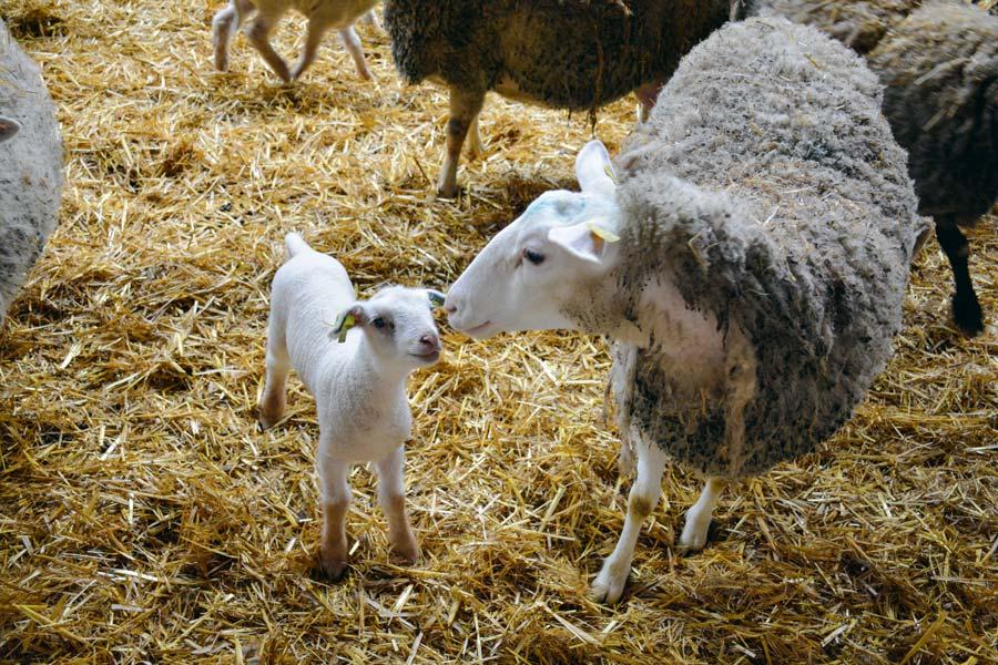 brebis-agneau