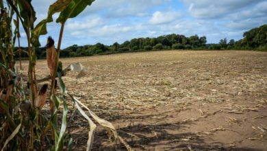 Photo of En Centre-Finistère, le maïs galope vers la maturité