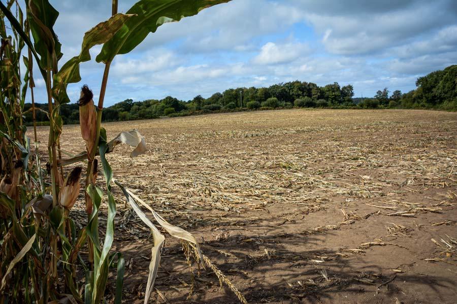 Cette parcelle présente des bandes de maïs couchés par endroits. Il faut alors s'armer de patience pour la récolter.