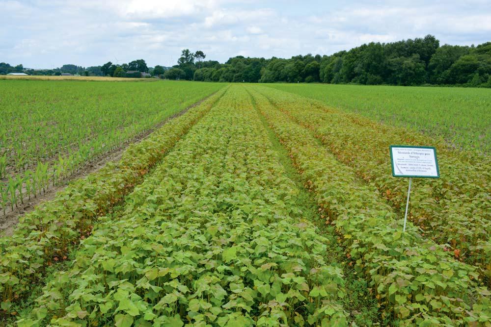 Essais de solutions alternatives (Ici, semis de moutarde et de sarrasin) au traitement de semences Sonido, menés par Arvalis-institut du végétal, dans une parcelle à Bignan (56).