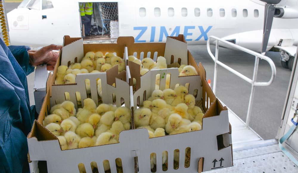 Départ par avion à l'aéroport de Trémuson (22) de parentaux issus des élevages bretons de grands parentaux pour l'Ukraine.