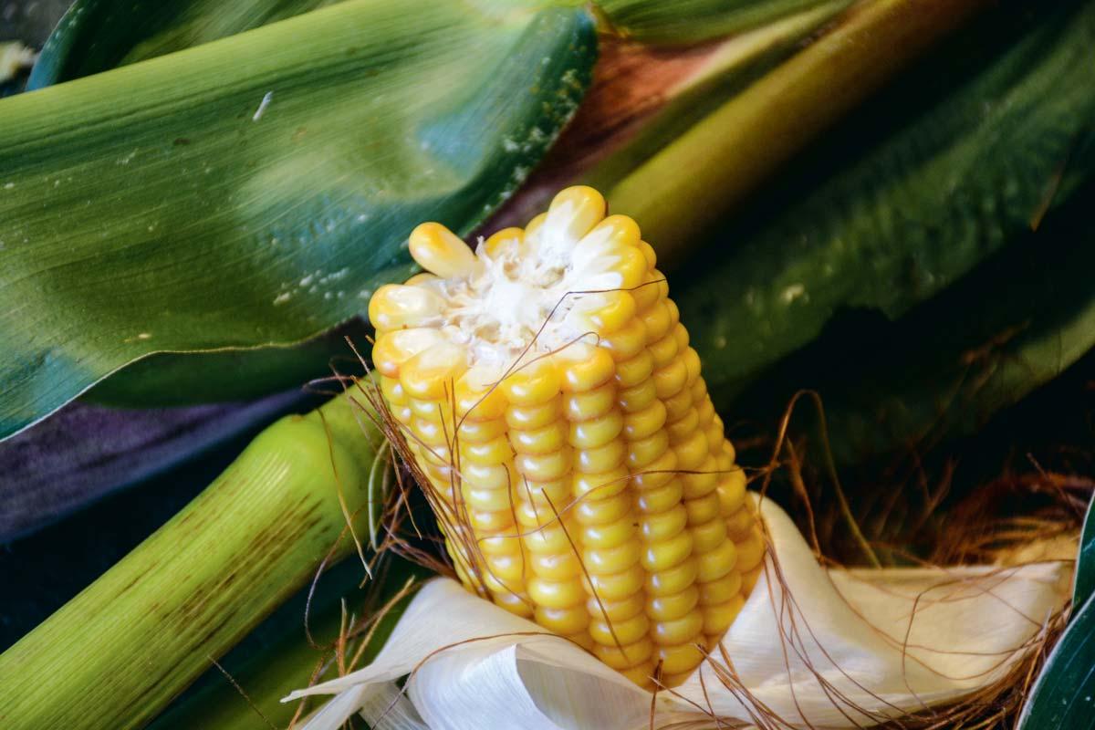 L'analyse visuelle, jeudi 13 septembre, du stade de maturité du grain selon les grille Arvalis, confirmée par l'analyseur AgriNIR, a déterminé un maïs à 28% MS à ensiler sous 15 jours.