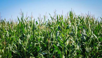 Photo of Le maïs à toute vitesse
