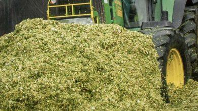 Photo of Couper le maïs à 50 cm