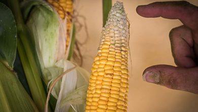 Photo of Le maïs est en avance
