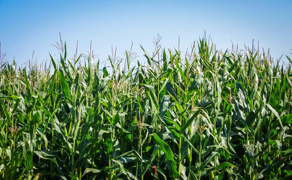 Avec un itinéraire technique adapté, le maïs a la capacité à résister aux agressions extérieures.