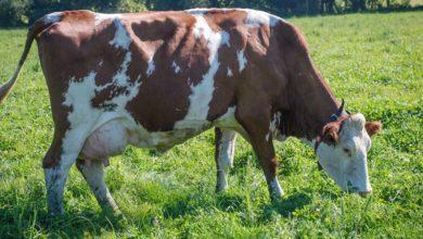 Photo of Pour la FNPL, le prix de revient moyen du lait français est de 396€/1000 litres