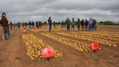 Photo of Pomme de terre : les champs d'essais livrent leur verdict
