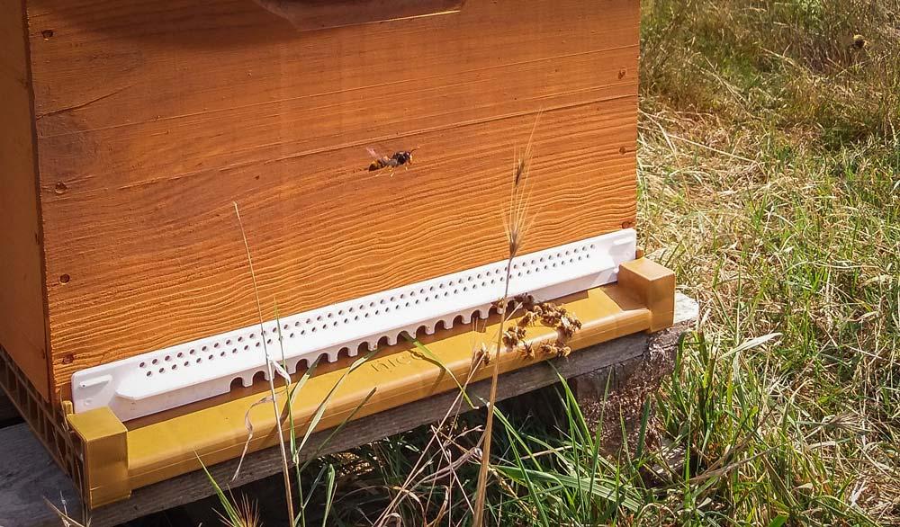 Mise en place d'un réducteur d'entrée (élément blanc) sur la ruche pour empêcher entre autres l'intrusion de frelon, comme ici en vol stationnaire devant la ruche.
