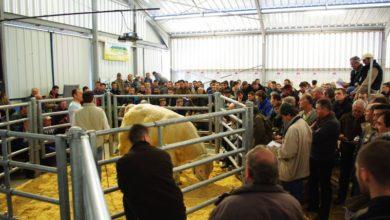 Photo of Le Herd Book Charolais fait sa rentrée avec une seconde vente en ligne