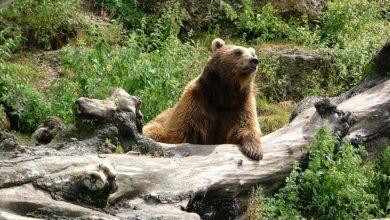 Photo of Un premier lâcher d'ours dans le Béarn