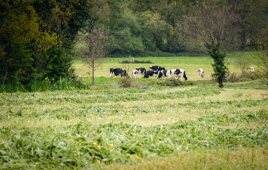 herbe-fauchee-ensilage-vaches-colza
