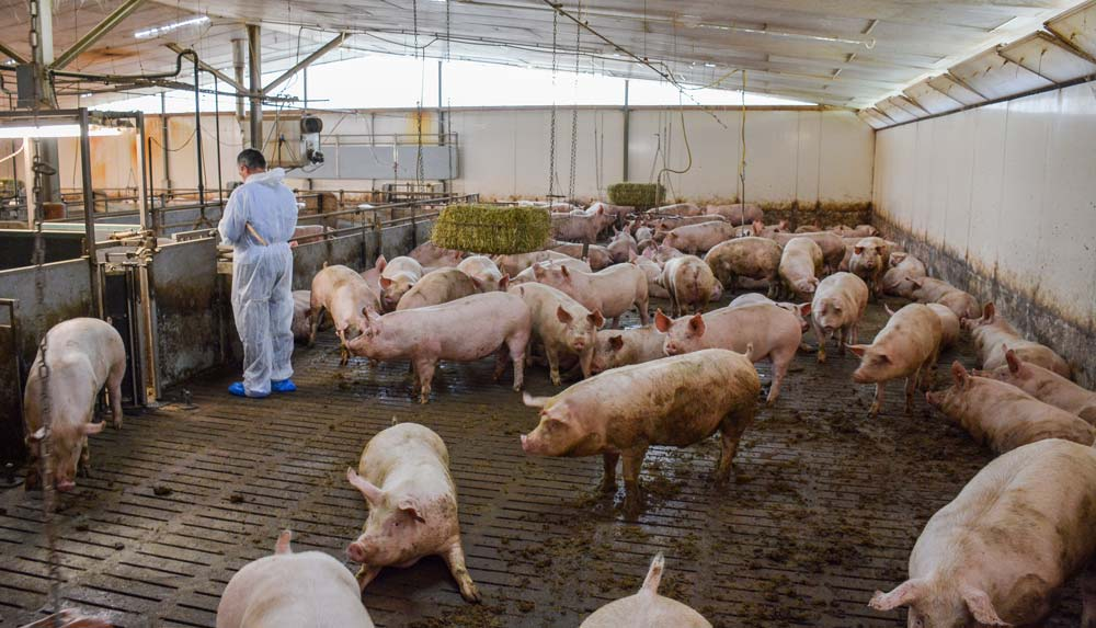 La visite de la salle d'engraissement totalisant 680 porcs charcutiers a impressionné les éleveurs bretons.