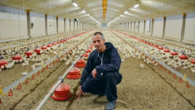 Photo of Les abattages de poulets export en progression