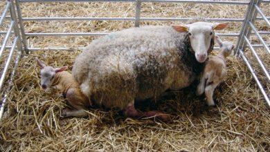 Photo of Moins d'agneaux au printemps prochain ?