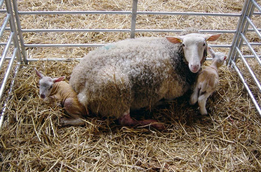 Un manque d'herbe peut entraîner une baisse du nombre d'agneaux à naître