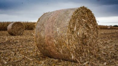Photo of Du maïs pour sécuriser le stock de paille