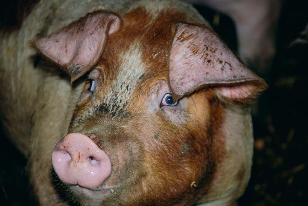 La viande de porc polonaise ne devrait pas innonder le monde européen à court ou moyen terme.