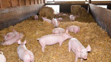 Photo of À la recherche d'éleveurs de porcs sur litière