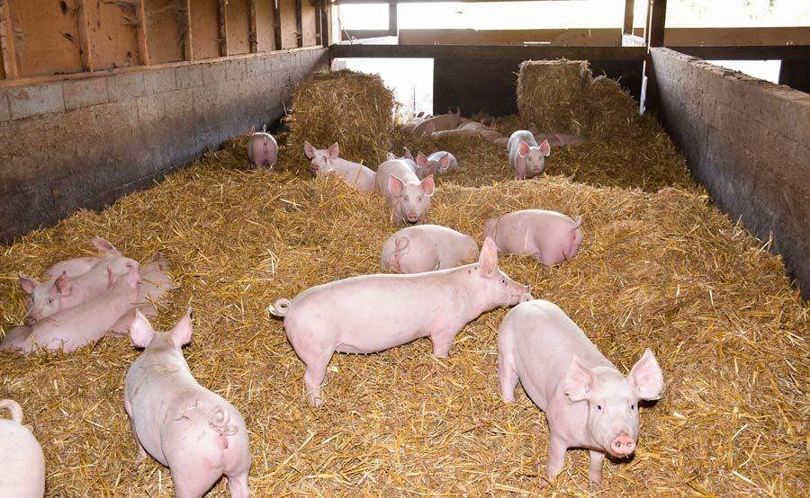 Cinq éleveurs sont engagés dans la démarche Le Porc Authentique, élevé sur paille (photo archives). Ils livrent dans 35 boucheries charcuterie des Côtes d'Armor. Le réseau Cohérence, qui assure le respect du cahier des charges, cherche des producteurs sur le Morbihan.