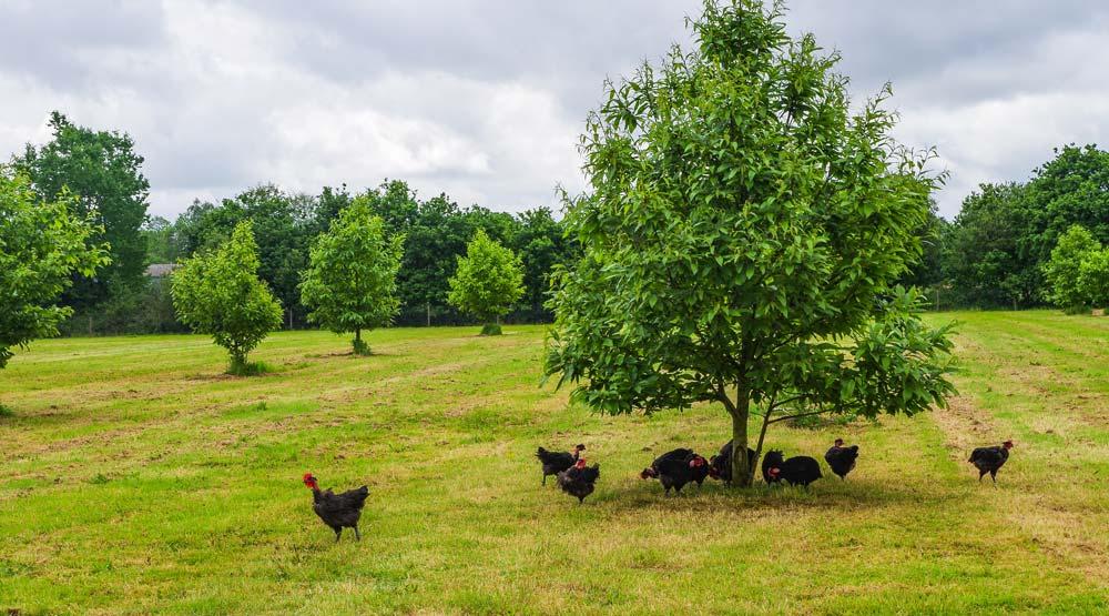 Les mises en place de poulets fermiers noirs ont augmenté de 5 % en 2017.