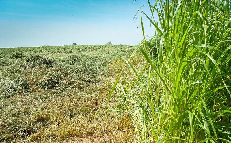 ray_grass_italien_1