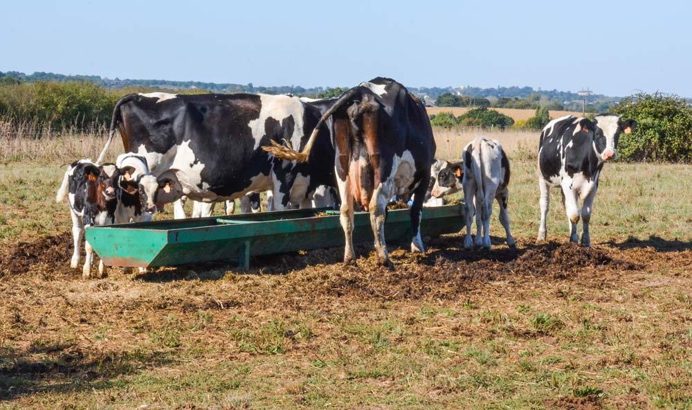 Les vaches nourrices avec les veaux.