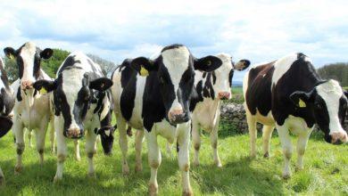 Photo of Les clés du succès de la production laitière biologique